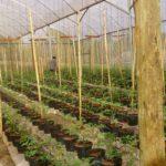 Tomates em cultivo aéreo e protegido