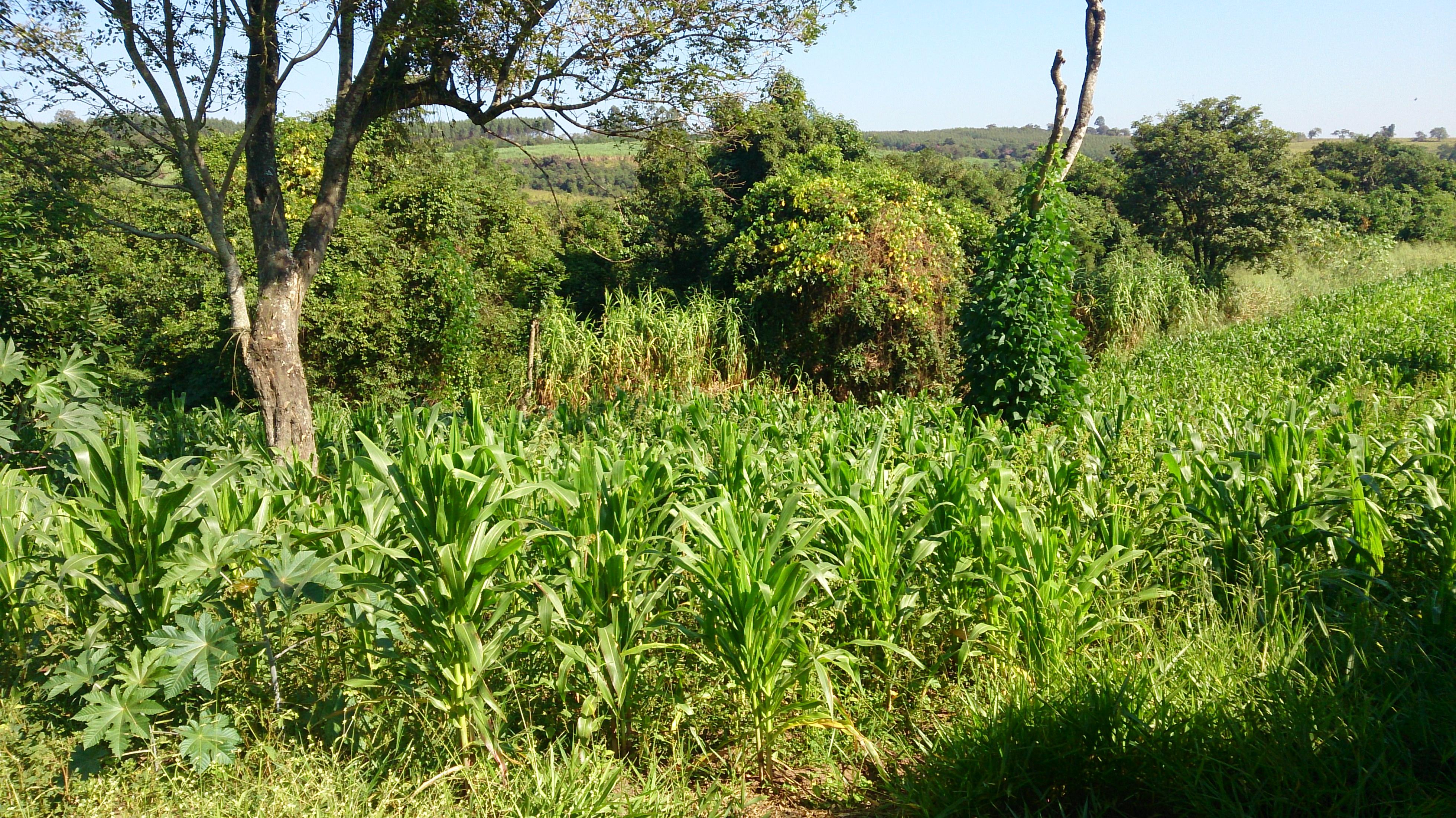 Adubação verde e milharal